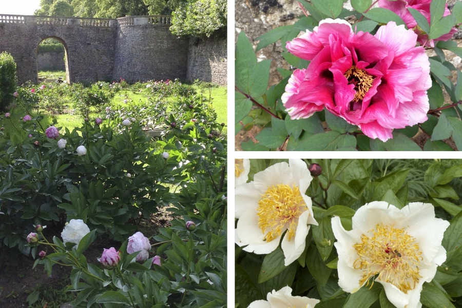 Pivoines de sourches